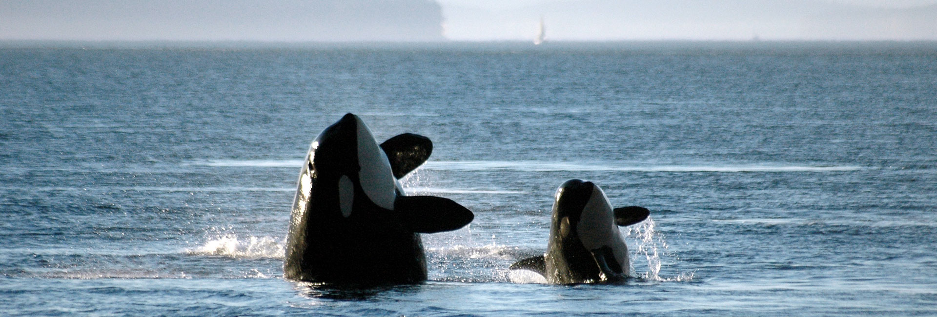 Killer whales leaping out of water